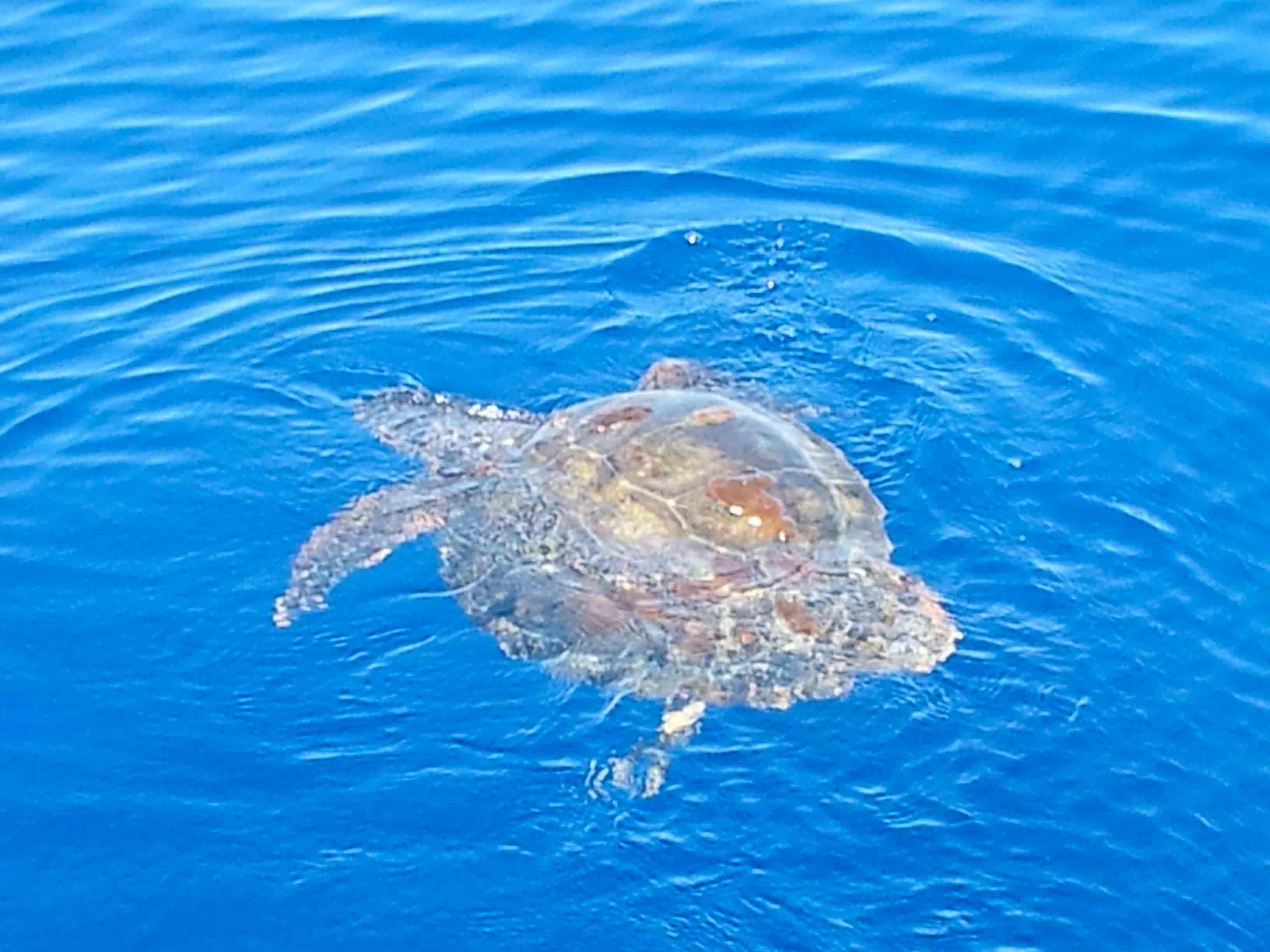черепахи Каретта -Каретта, фото хозяина