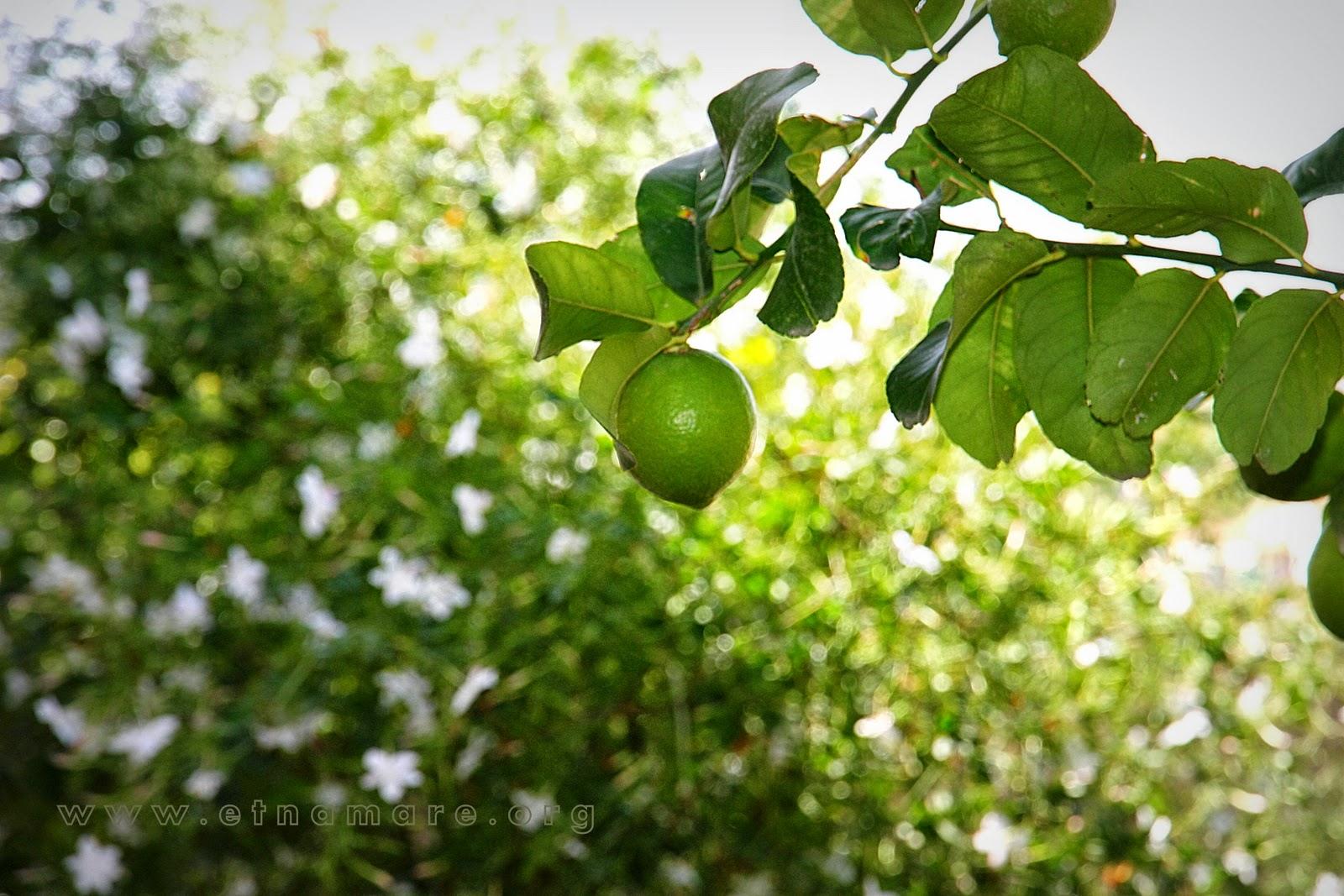спеют лимоны (октябрь)
